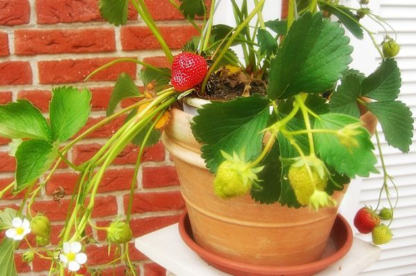 pot of strawberries