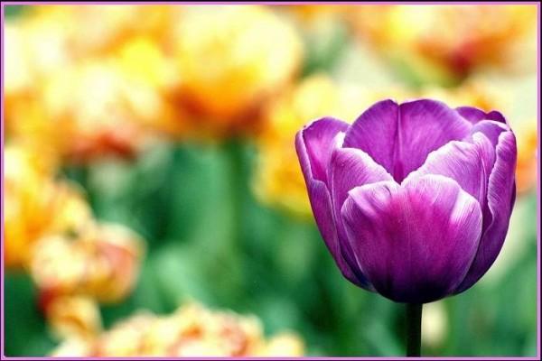 La Tulipe violette