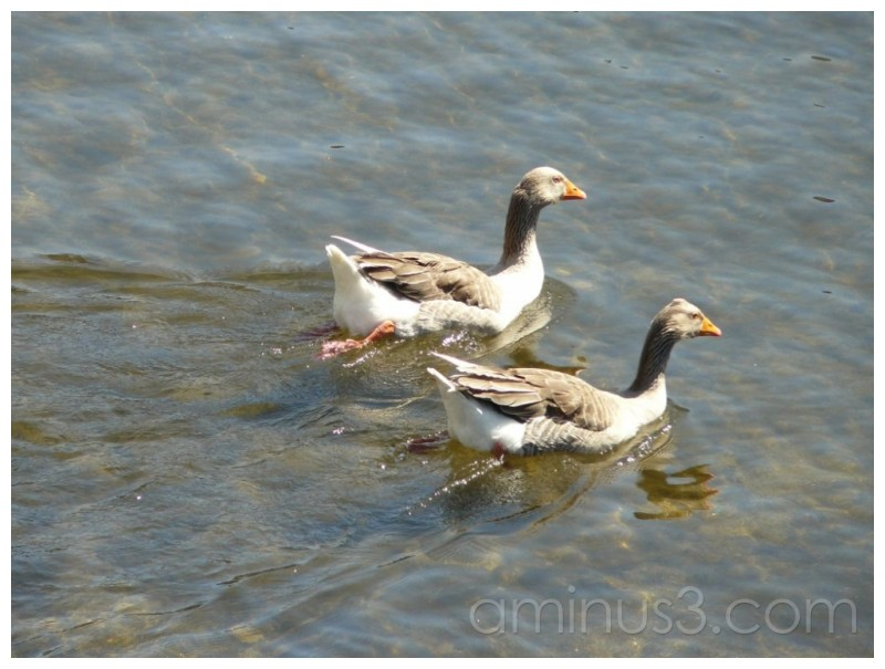 Ducks on the Vouga river