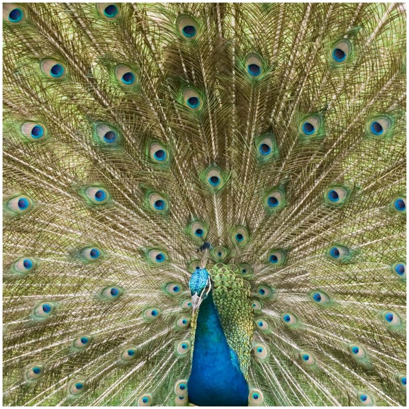 Proud to be a peacock