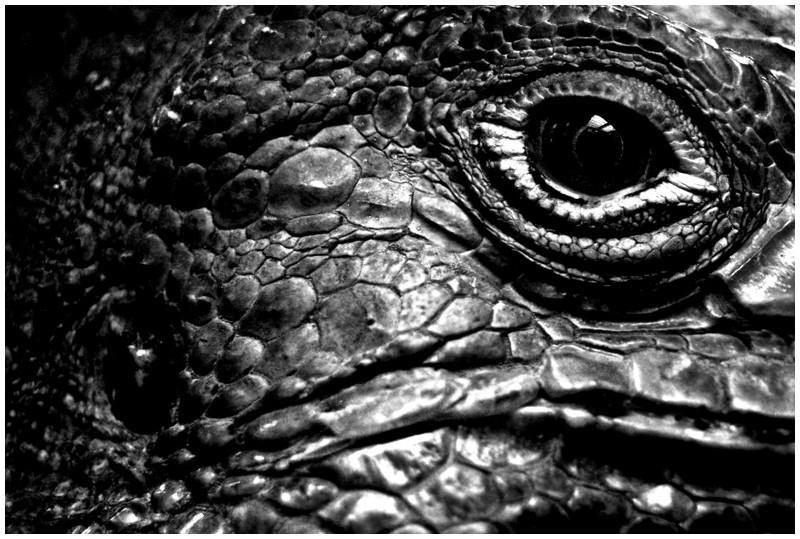 lezard iguane iguana oeil eye
