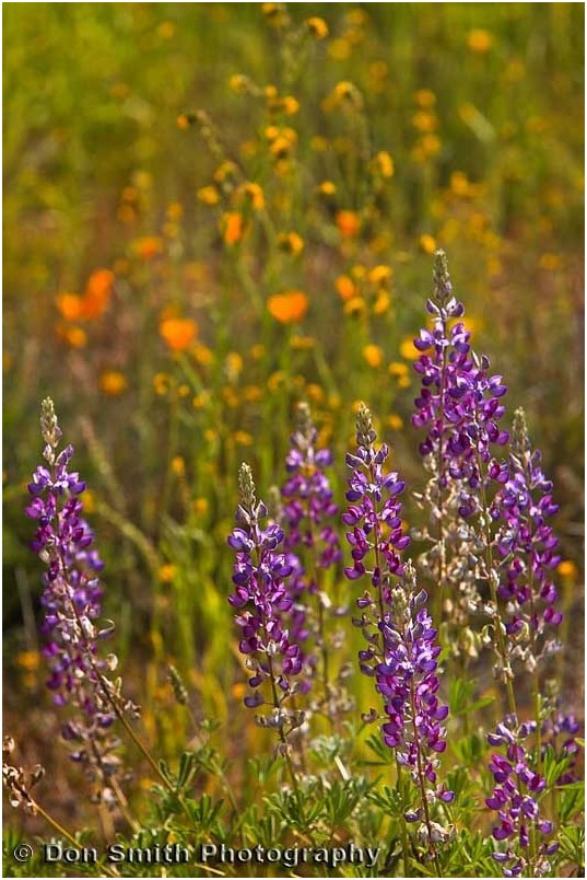 Lupines and poppies at Pinnacles National Monument