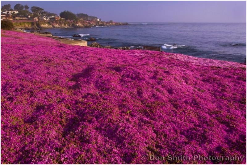 Colorful miniature ice plant in Pacific Grove, Ca.