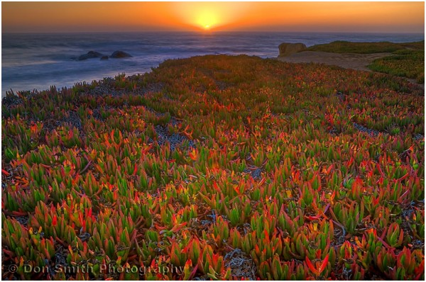 A Pacific sunset over colorful ice plant.