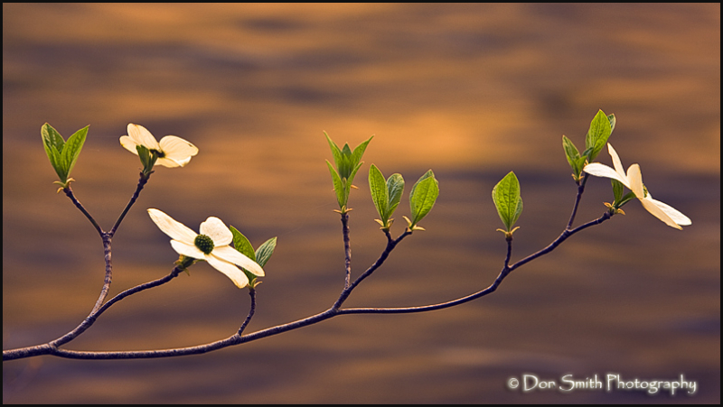 dogwood blossoms, merced river, yosemite, spring