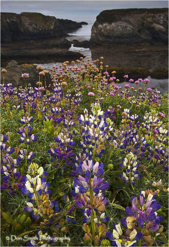 Summer wildflowers along Mendocino headlands.