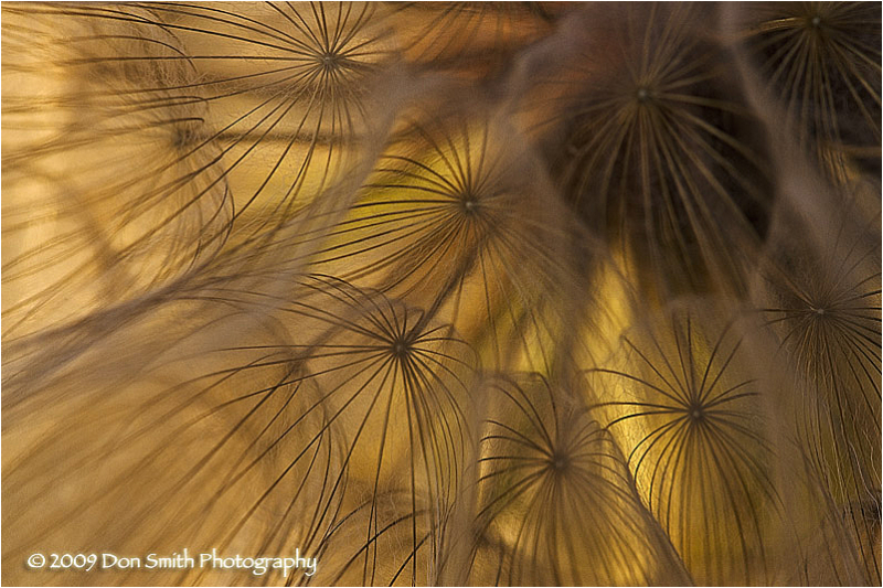Nature's design in a macro of a salsify seed.