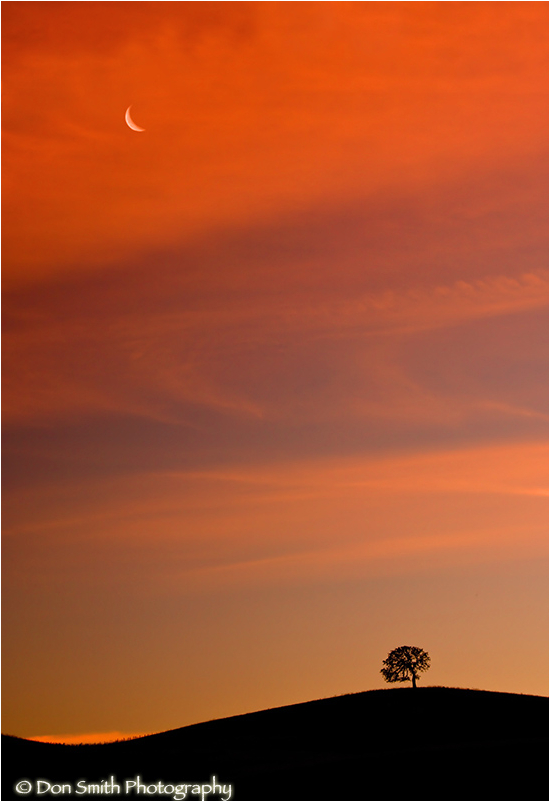 A crecent moon and lone oak under sunset sky.