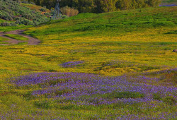 Spring Wildflowers, Little Panoche Valley