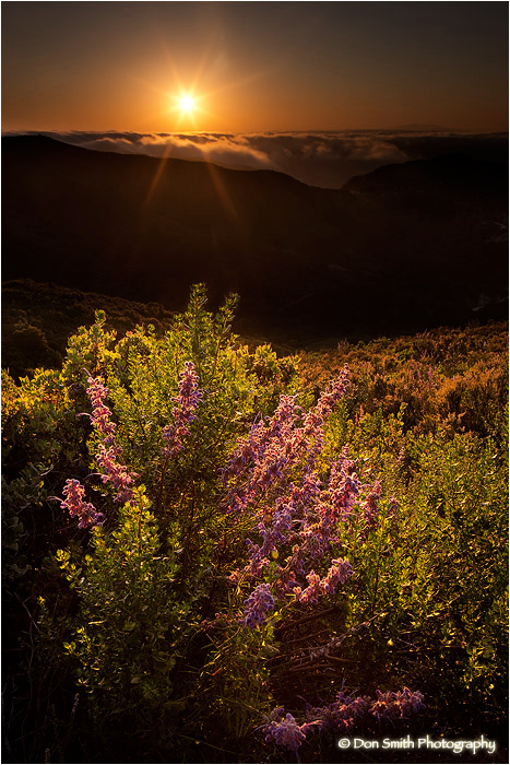 Lupine bush and setting sun in Pacific Ocean fog.