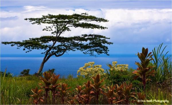 Koa tree and Ti leaves at Akaka State Park, Hawaii