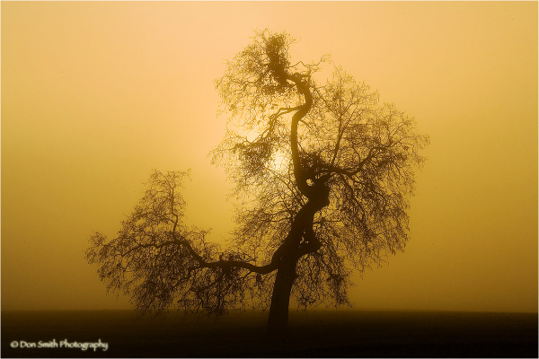 Sunrise through fog behind oak tree in California.
