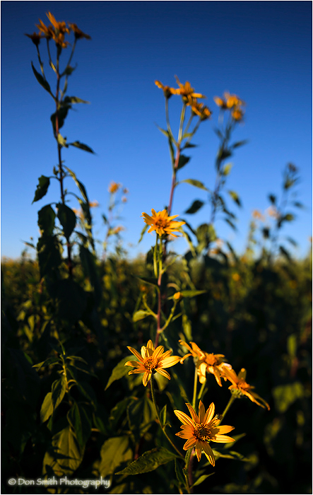 Filed of sunflowers in late-afternoon light.
