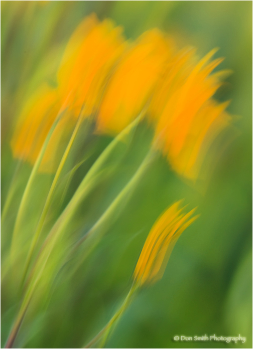 Sunflowers dance in wind and create an abstract.