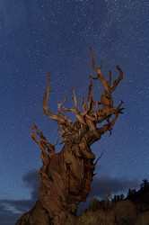 Bristlecone Under the Heavens