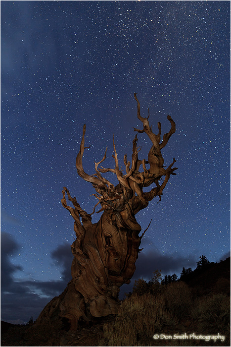 An old-growth bristlecone pine under the night sky