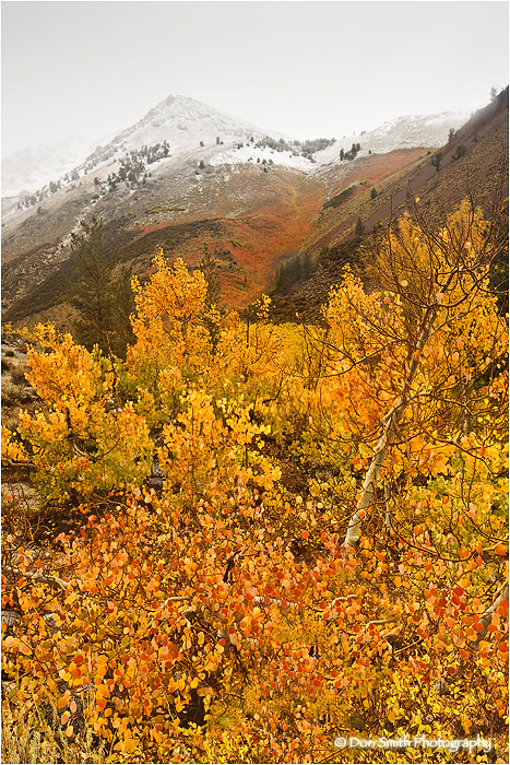 Fall color and fresh snow in eastern Sierra, Ca.