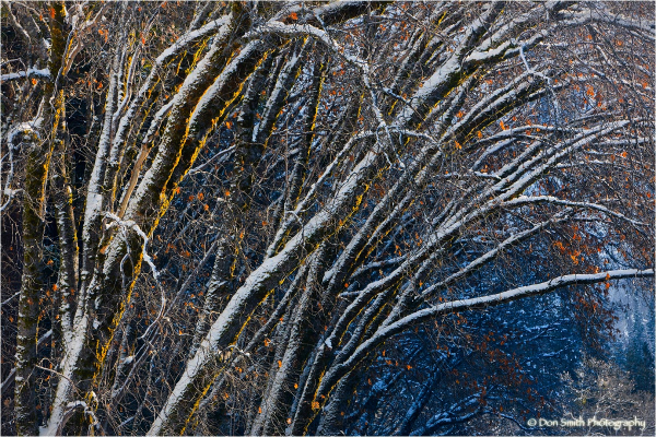 Snow-covered alders, Yosemite National Park.