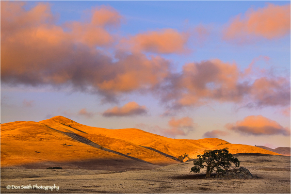 Lone oak against a sunset sky, Santa Clara County