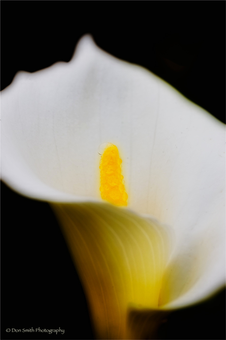 Calla Lily and raindrop, Big Sur, California
