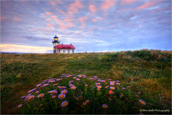 Sea Daises at dawn. Pt. Cabrillo Light Station