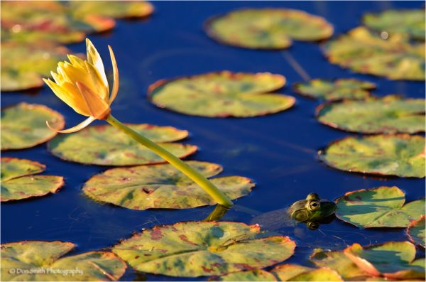 Opposing viewpoints, bullfrog and lily pads