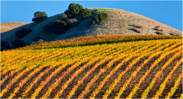 Vineyard patterns in warm afternoon light.