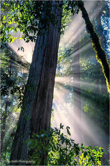 Big Basin Redwoods State Park, crepuscular rays