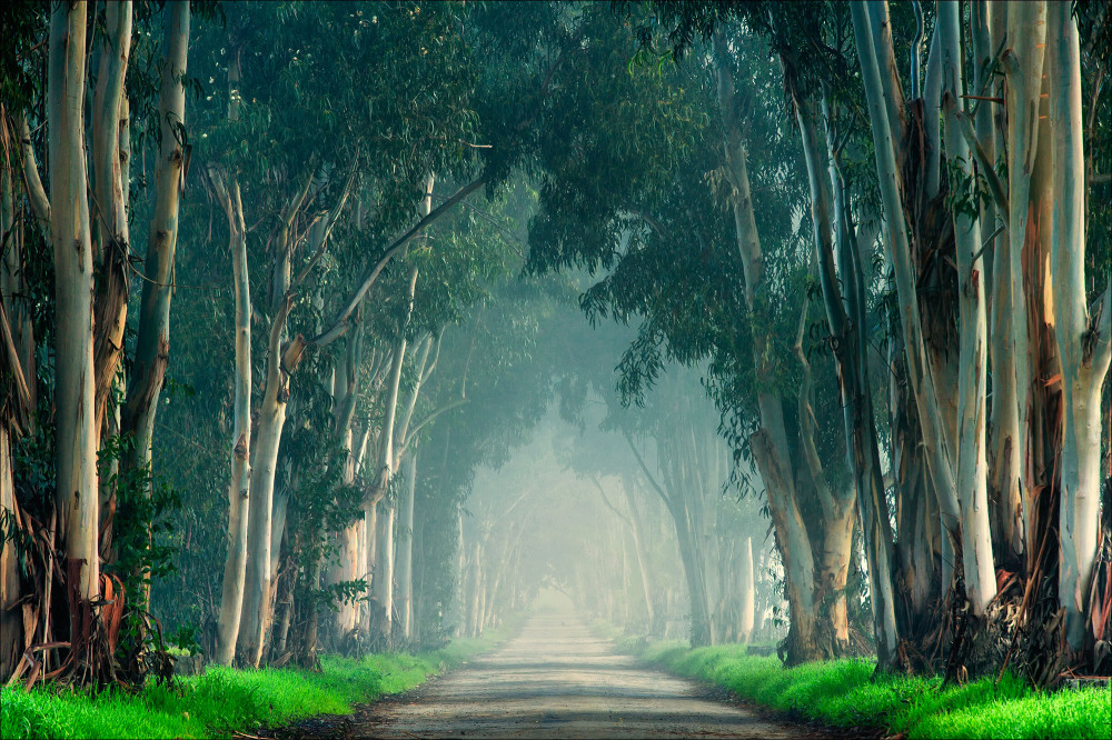 Eucalyptus trees in fog.