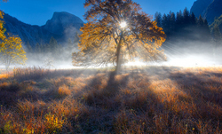 Backlit Elm, Cook's Meadow, Yosemite NP