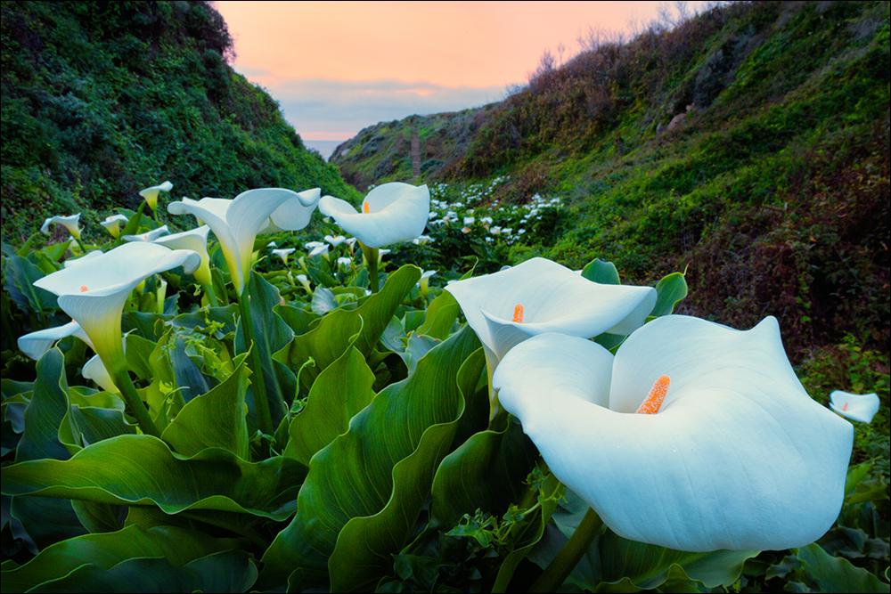 Wild calla lilies at Garrapata State Park, Big Sur