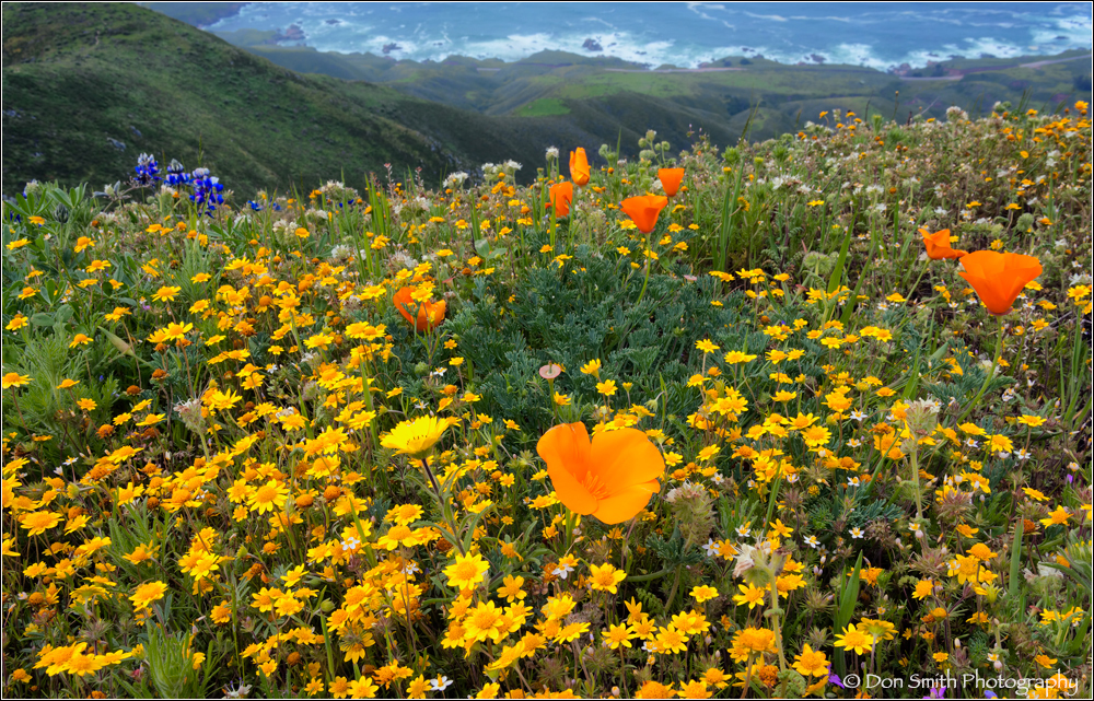 spring, wildflowers big sur coast, Garapatta SP