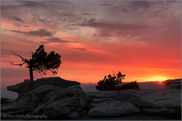 Bent Jeffrey Piine, Sentinel Dome, Yosemite NP