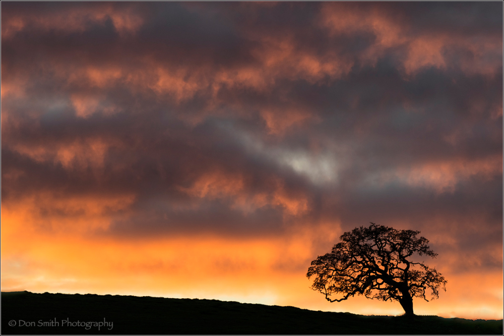 Oak Against Dusk Sky, Diablo Hills, California
