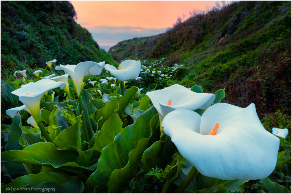 calla lilies, don smith photography workshops