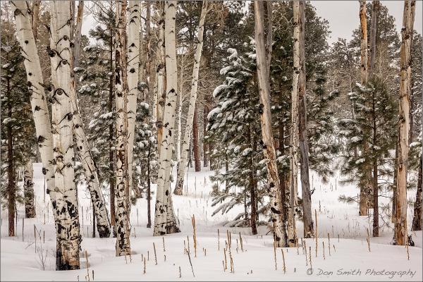 Aspens and Pines, Northern Arizona