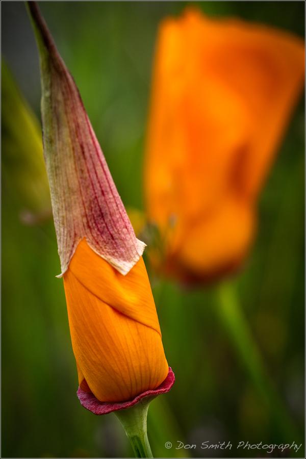 Sleeping Poppy, California Golden Poppy