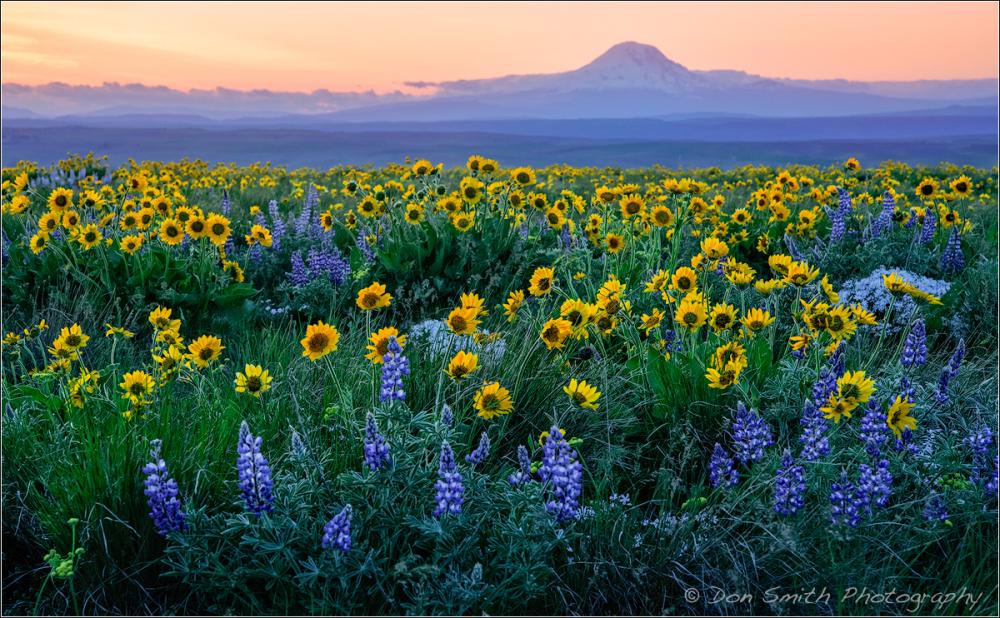 Wildflowers and Mt. Adams, Washington