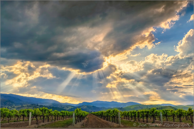 Crepuscular Rays Over Vineyard