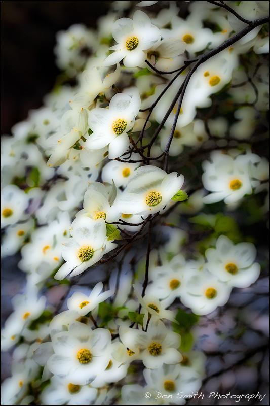 Dogwood Blooms :: The Orton Technique