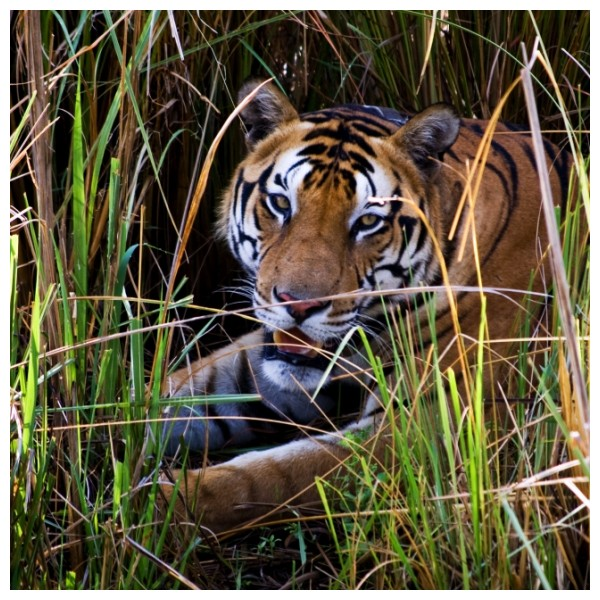His Majesty, resting in Kanha's meadow.