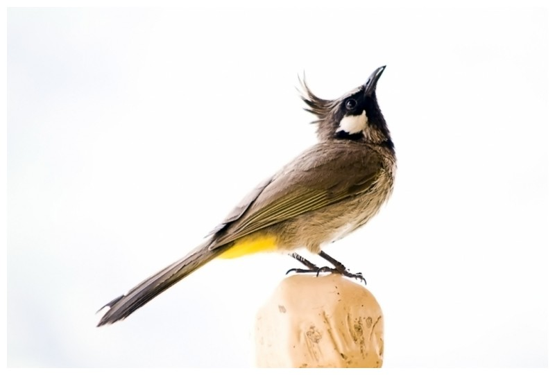 A white Cheeked Bulbul with yellow butt !