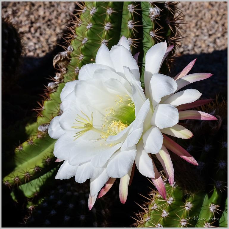 Cactus Blosssom
