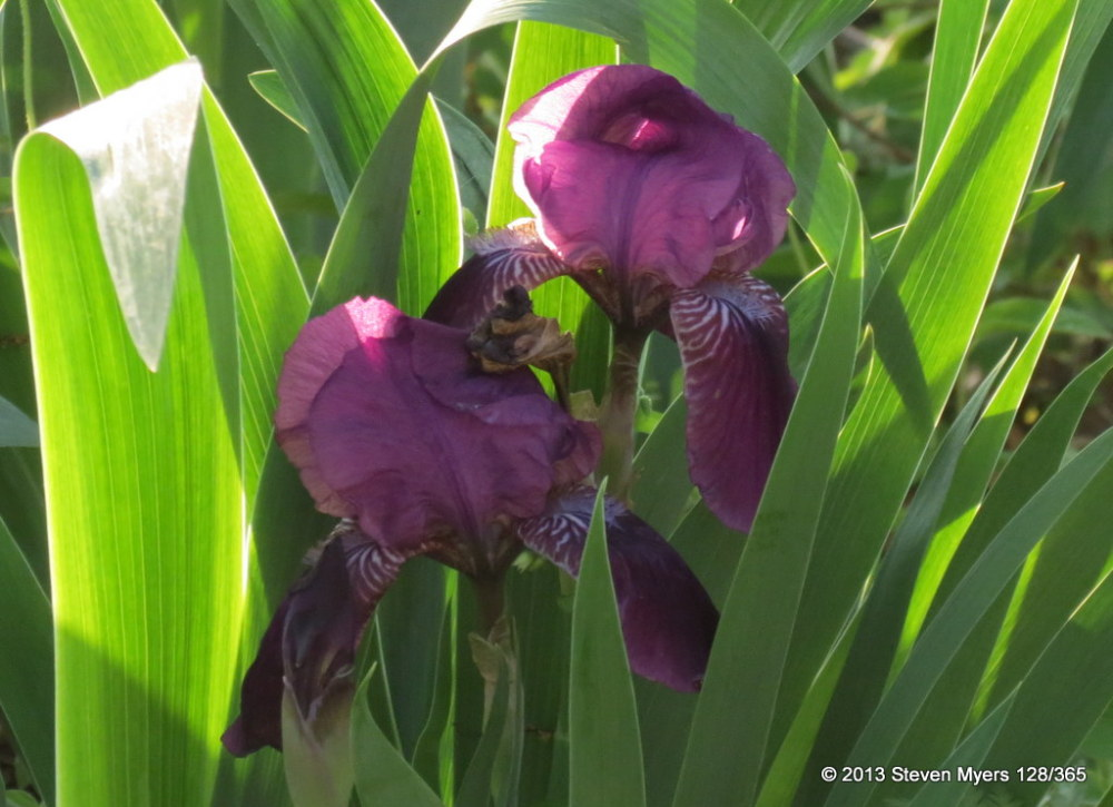 128/365 Iris