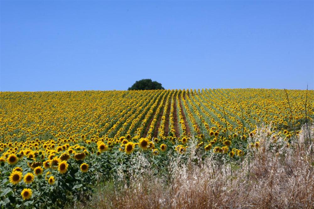 A SUNFLOWER FIELD-1