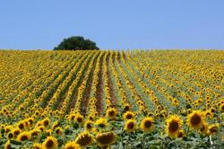 A SUNFLOWER FIELD-4