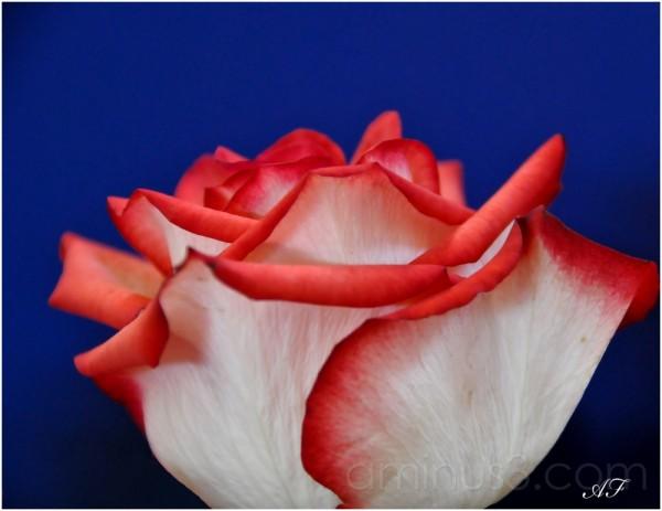 Solo Rose