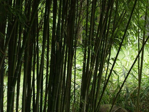 bamboo curtain