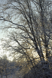 Winter trees in the forest
