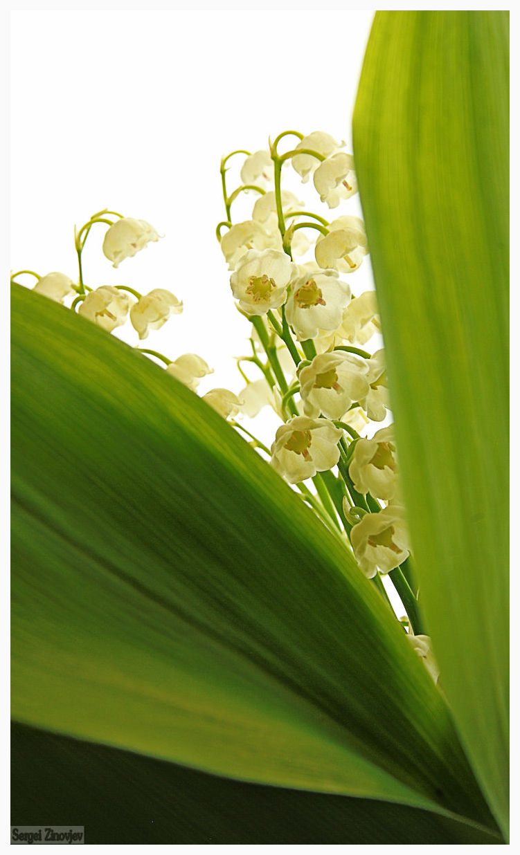 close-up of the lily of the valley